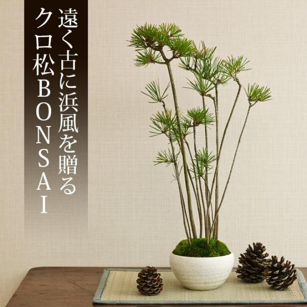 ミニ盆栽 クロ松 盆栽(bonsai ボンサイ) 翠松園 撰*o-M-bonsai_009* somurie