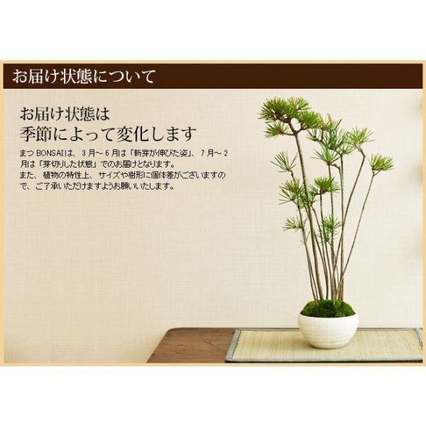 ミニ盆栽 クロ松 盆栽(bonsai ボンサイ) 翠松園 撰*o-M-bonsai_009* somurie 03