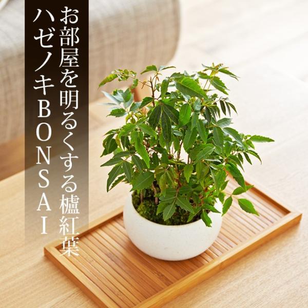 ミニ盆栽 ハゼノキ 盆栽(bonsai ボンサイ) 翠松園 撰*o-M-bonsai_022*|somurie