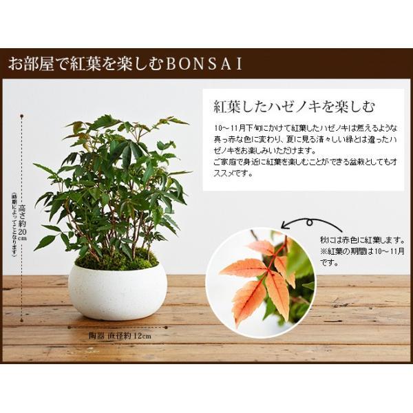 ミニ盆栽 ハゼノキ 盆栽(bonsai ボンサイ) 翠松園 撰*o-M-bonsai_022*|somurie|02