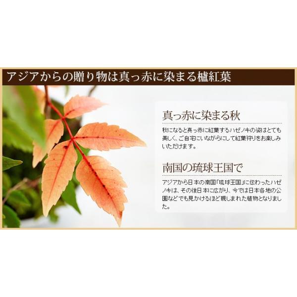 ミニ盆栽 ハゼノキ 盆栽(bonsai ボンサイ) 翠松園 撰*o-M-bonsai_022*|somurie|03