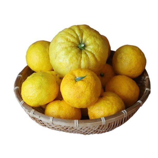 長崎(そとめ)産:柚子(ゆず)普通サイズ&ジャンボ柚子1個付き 約2kg sotome
