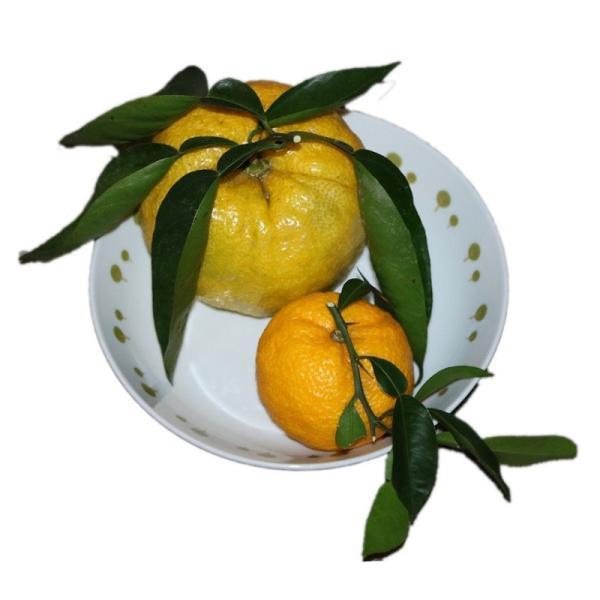 長崎(そとめ)産:柚子(ゆず)普通サイズ&ジャンボ柚子1個付き 約2kg sotome 02