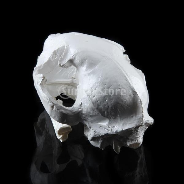 【ノーブランド 品】樹脂 リアル レプリカ 動物 猫 頭蓋骨 モデル 医療 パーティー バー プロップ インテリア|stk-shop|04