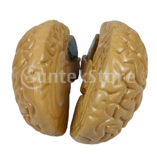 脳モデルおもちゃ 脳 模型 モデル 人体模型 立体 医学研究 脳ディスプレイ 解剖学模型