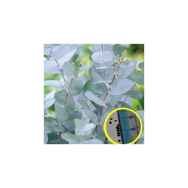 ユーカリ・グニー(Eucalyptus gunnii)の種子