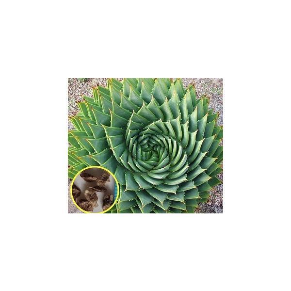 渦巻きアロエ ポリフィラ(Aloe Polyphylla)の新鮮な種子