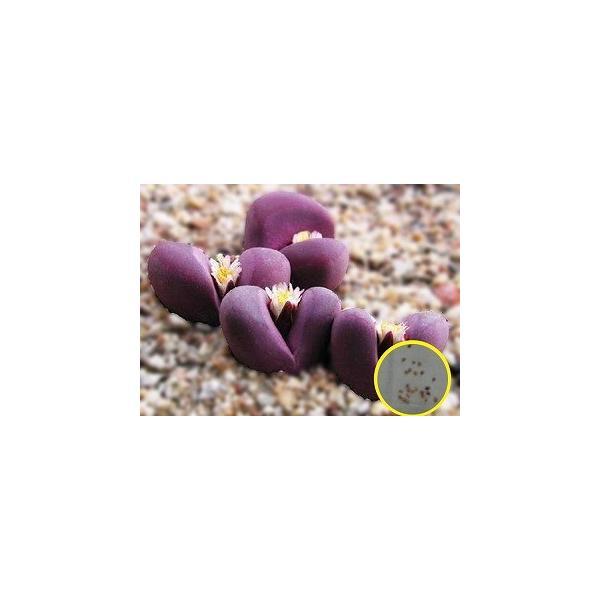 リトープス・オプティカ・ルブラ(Lithops optica v. rubra)の種子 succulent