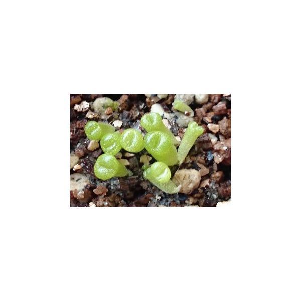 リトープス・オプティカ・ルブラ(Lithops optica v. rubra)の種子 succulent 02