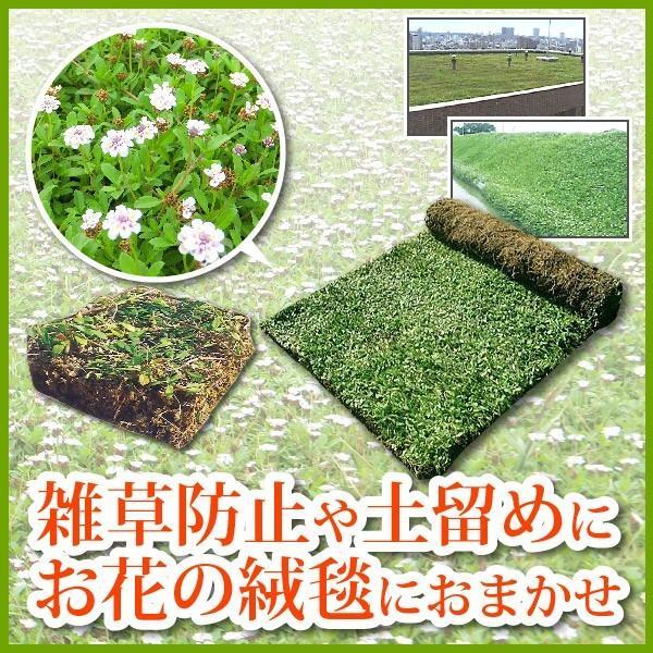 芝生 天然芝 花マット リピア ヒメイワダレソウ ロール (芝生 通販)|sun-wa|02