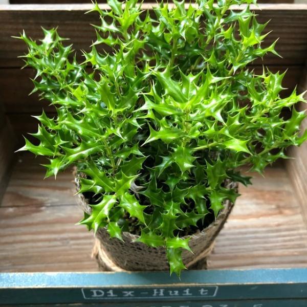 観葉植物 魔除け木に 姫ヒイラギ 玄関に 観葉植物 ガーデニング インテリア|sunnyy|04