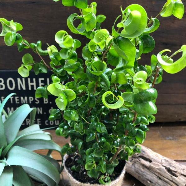 観葉植物 立派 くるくる ベンジャミンバロック 観葉植物