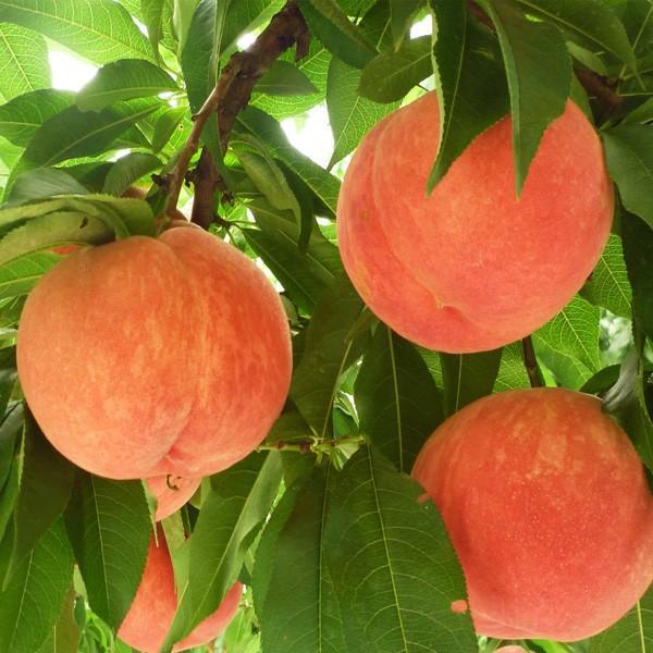 白桃 秀品 送料無料 旬のおまかせ 2kg 山形県産 桃 もも 産地直送|syun-syokutaku|02