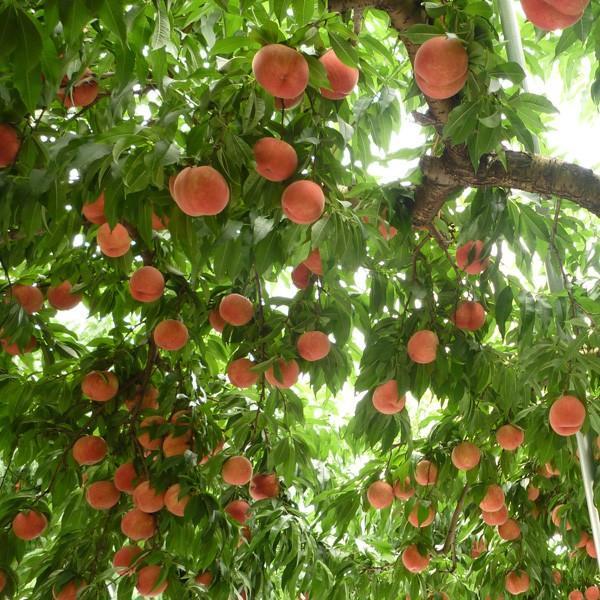 白桃 秀品 送料無料 旬のおまかせ 2kg 山形県産 桃 もも 産地直送|syun-syokutaku|03