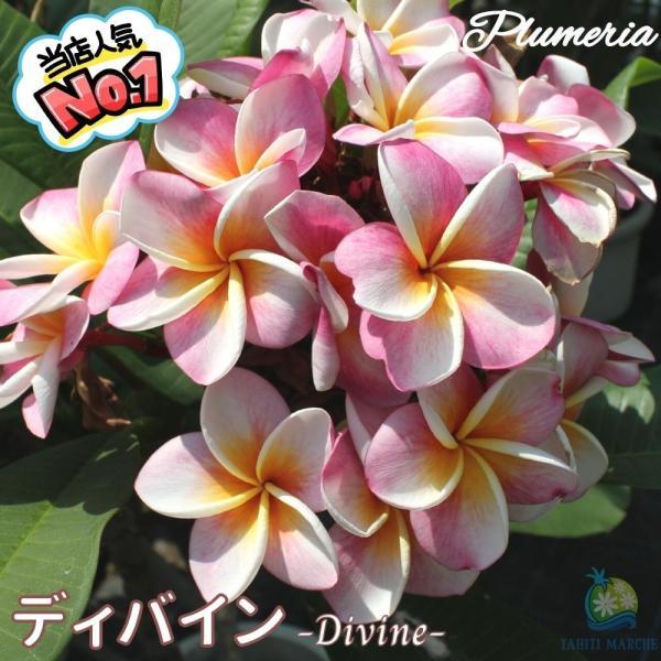 プルメリア苗 : 6月中旬より発送 / Divine ディバイン 5号鉢 スタンダード品種