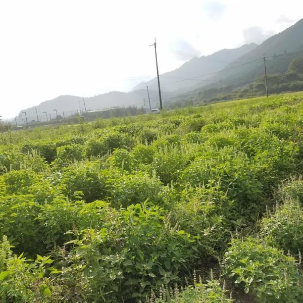 トゥルシーティー(ホーリーバジル) 自然栽培丹波産トゥルシー100%使用 ホーリーバジル ティーバッグタイプ|tanba-shinotaro|03