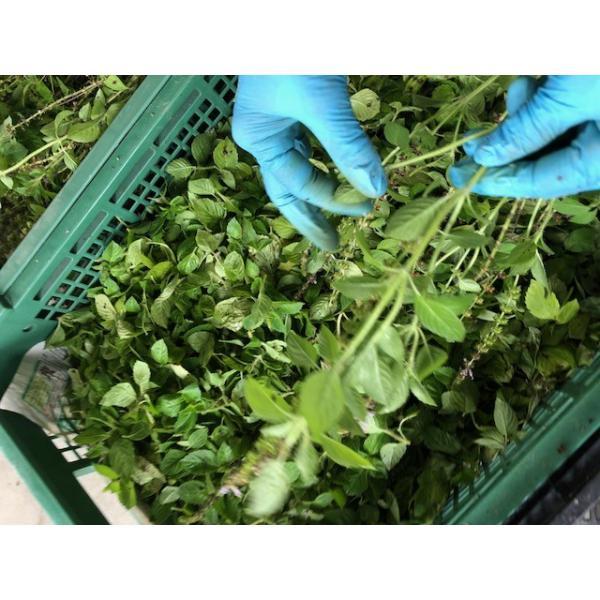 トゥルシーティー(ホーリーバジル) 自然栽培丹波産トゥルシー100%使用 ホーリーバジル ティーバッグタイプ|tanba-shinotaro|05