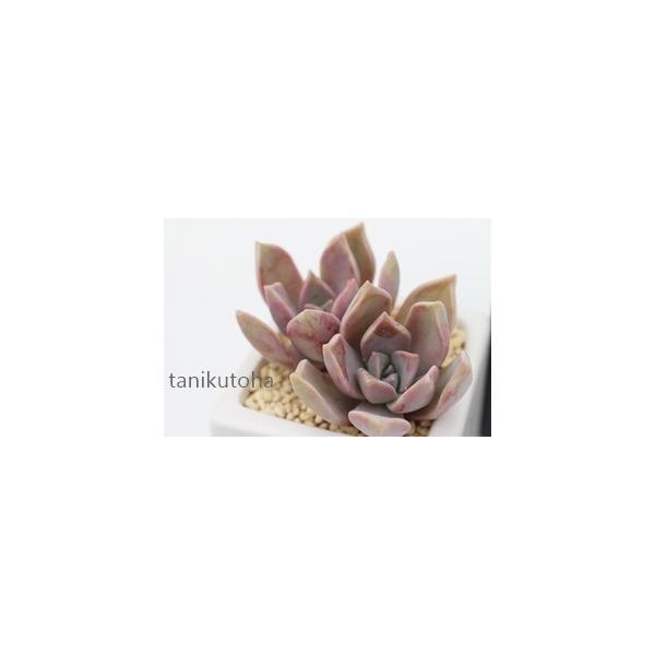 朧月 2寸ポット グラプトペタルム 弁慶草科 ピンク色多肉植物 苗 敬老の日 新築祝 誕生日祝 開店祝 結婚式祝