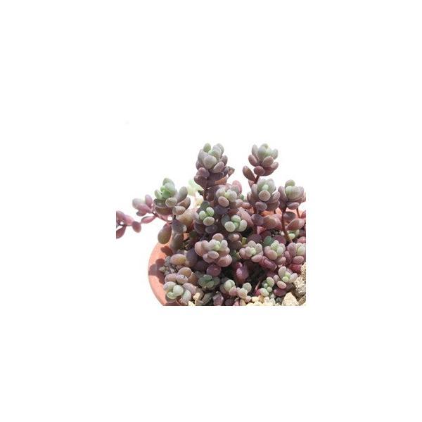 姫星美人 2寸ポット 群生タイプ セダム 弁慶草科 多肉植物 根付苗 多肉激安 セダム苗 可愛い多肉植物|tanikutoha|02