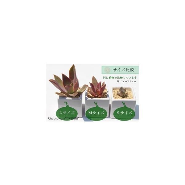Sサイズ20種類名前付き苗セット 多肉植物根付苗セット 名前付き多肉苗激安 多肉寄せ植え苗 多肉根付|tanikutoha|07