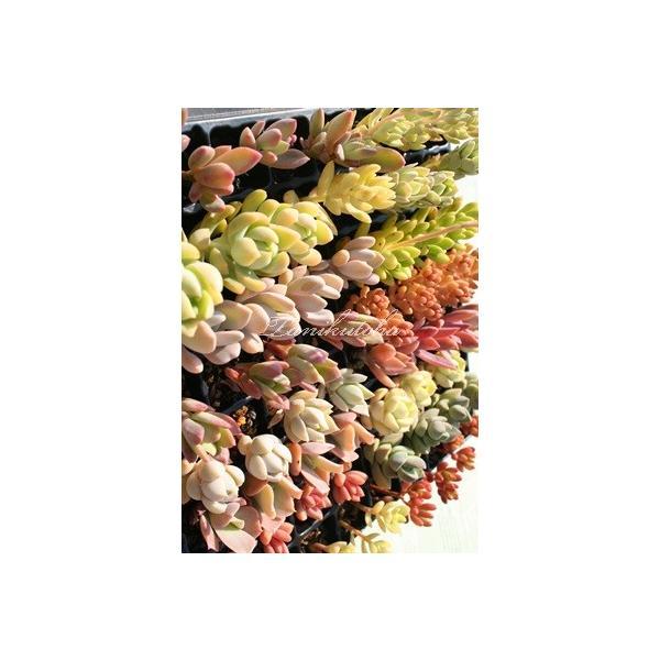 Sサイズ40種類名なし苗セット 多肉植物根付苗セット 多肉植物根付苗激安通販 多肉苗寄せ植え 多肉可愛い根付苗