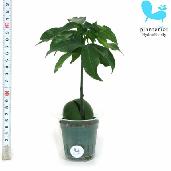 観葉植物 ハイドロカルチャー 苗 マメノキ Mサイズ 6パイ 2寸