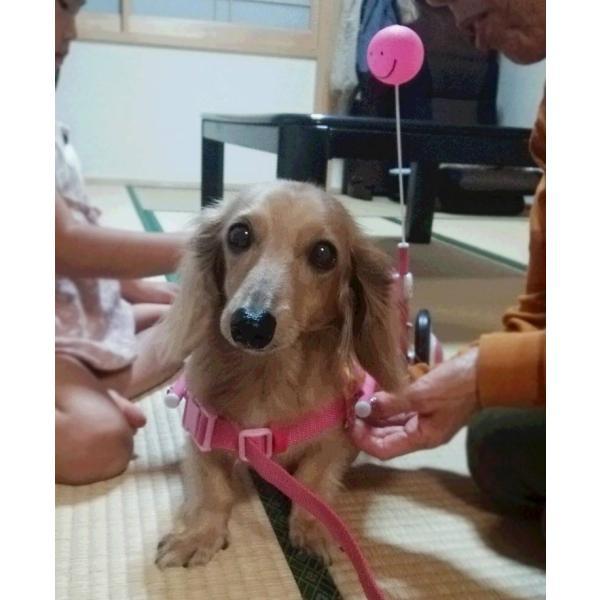 犬の車椅子 Sサイズ スマイルピンク 介護 後脚サポート車椅子 車いす 犬用|tenshinowa1224|04