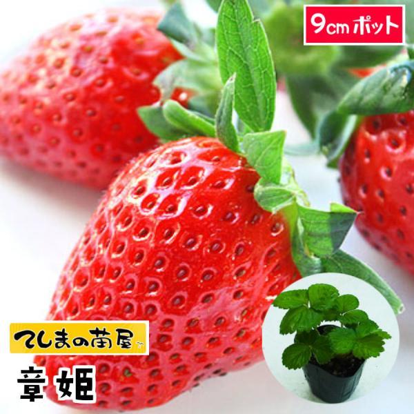 てしまの苗 イチゴ苗 あきひめ 7.5-9cmポット 人気