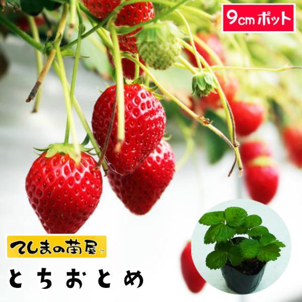 てしまの苗 イチゴ苗 とちおとめ 7.5-9cmポット 人気
