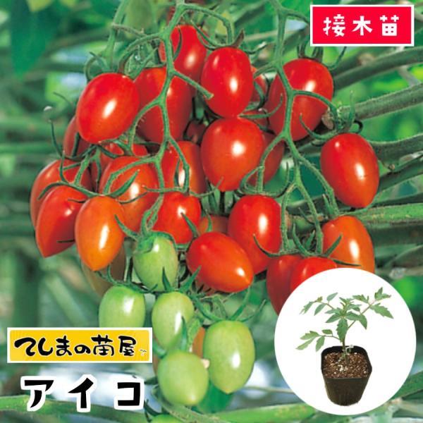 てしまの苗  ミニトマト苗 アイコ 断根接木苗 9cmポット人気野菜苗の画像