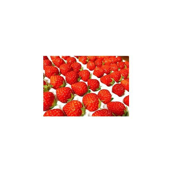 高野高原 いちご 約300g(20〜35粒) ×2パック 広島県産 *サイズはお選び出来ません。 (フジアグリフ−ズ) | イチゴ 苺 夏秋どり フルーツ 広島県産 広島
