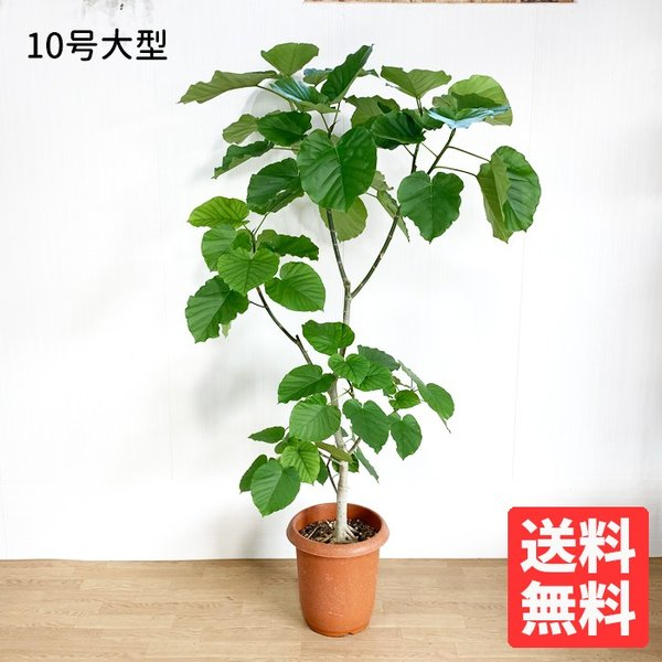 フィカス ウンベラータ ゴムの木 10号 法人・お店宛送料無料 観葉植物 10号鉢 大鉢 大型 大きい 尺鉢