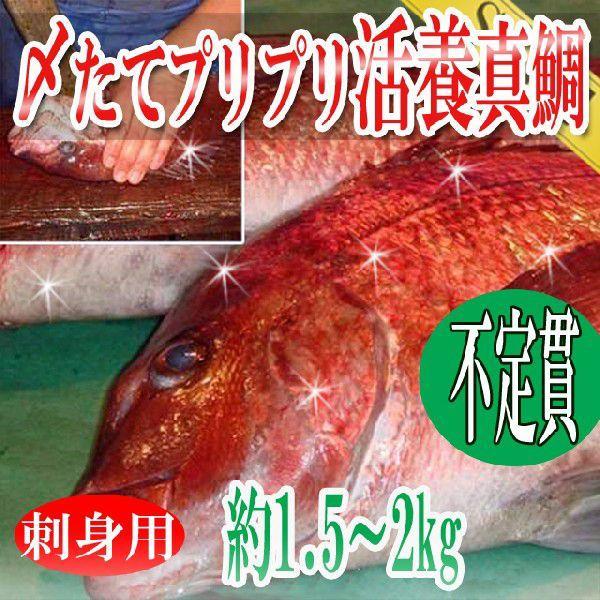 鯛 真鯛 刺身用 〆たてプリプリ活養 1尾約1.5-2kg 冷蔵便 築地直送