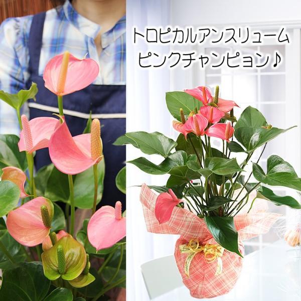 トロピカルでお花長持ち アンスリウム 鉢花 ギフト アンスリューム チャンピオンシリーズ 花 観葉植物|tsukaguchi