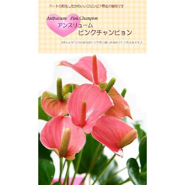 トロピカルでお花長持ち アンスリウム 鉢花 ギフト アンスリューム チャンピオンシリーズ 花 観葉植物|tsukaguchi|03