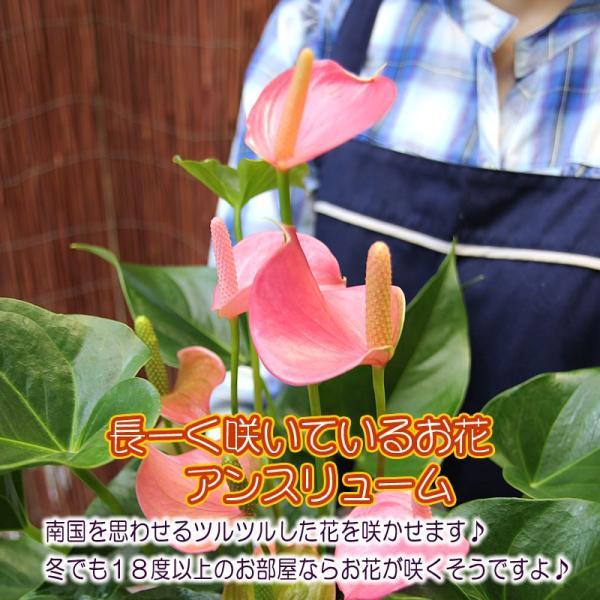 トロピカルでお花長持ち アンスリウム 鉢花 ギフト アンスリューム チャンピオンシリーズ 花 観葉植物|tsukaguchi|04