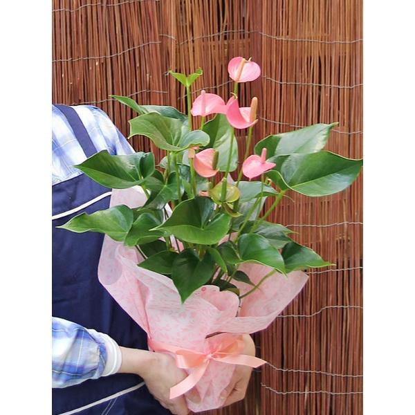 トロピカルでお花長持ち アンスリウム 鉢花 ギフト アンスリューム チャンピオンシリーズ 花 観葉植物|tsukaguchi|05