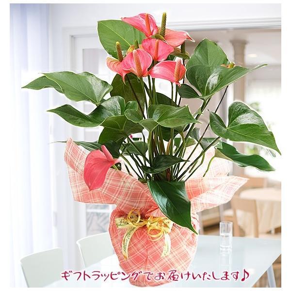 トロピカルでお花長持ち アンスリウム 鉢花 ギフト アンスリューム チャンピオンシリーズ 花 観葉植物|tsukaguchi|06