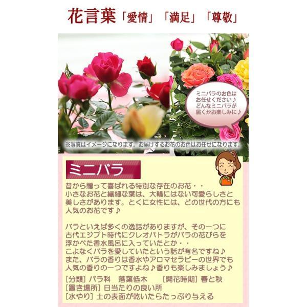送料無料 色々選べる もこもこおなかのひつじのメーさん又は福を呼ぶ ふくろうちゃんの季節の鉢花  鉢植え 寄せカゴ ギフト プレゼント|tsukaguchi|11