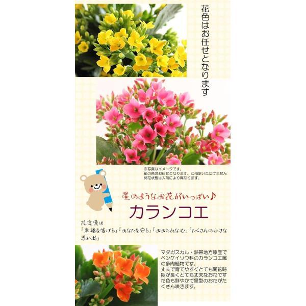 送料無料 色々選べる もこもこおなかのひつじのメーさん又は福を呼ぶ ふくろうちゃんの季節の鉢花  鉢植え 寄せカゴ ギフト プレゼント|tsukaguchi|12