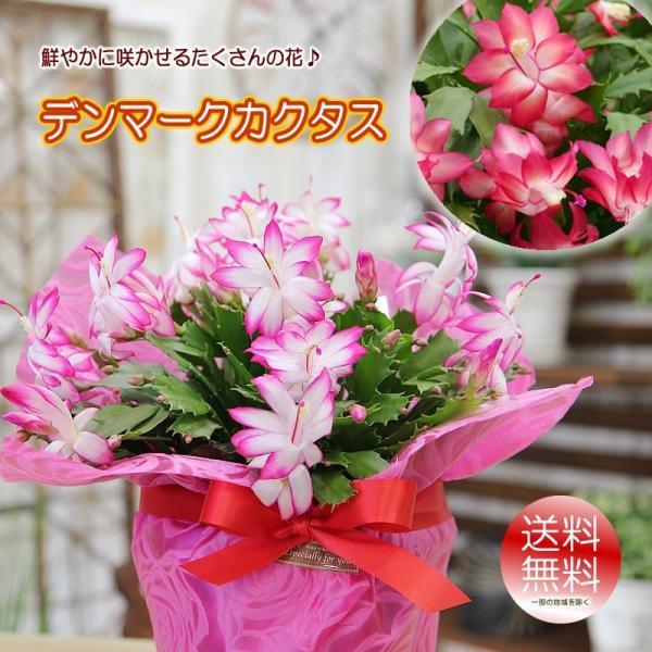 送料無料 鮮やかに咲かせるたくさんの花 デンマークカクタス シャコバサボテン 鉢花 鉢植え プレゼント 花 ギフトの画像