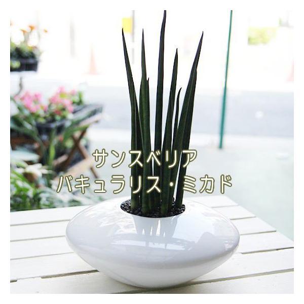 お部屋の空気をきれいにする植物 サンスベリア集合!