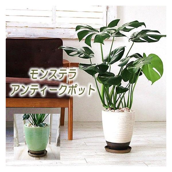 怪物??という名の観葉植物 モンステラ集合!