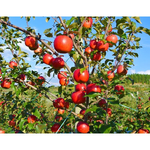 林檎 リンゴ 青森県産 ちょっと訳あり こみつりんご 6〜12玉 約2kg 秀A品 ムラ・小さな傷あり 常温 4箱まで同一配送先に送料1口で配送可能 tsukijiichiba 14