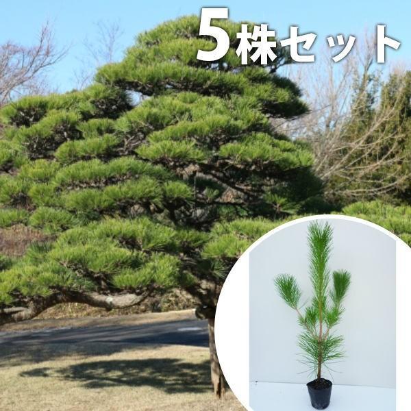 クロマツ(5本セット) 樹高0.3m前後 10.5cmポット 黒松 くろまつ 松の木 苗木 植木 苗 庭木 生け垣