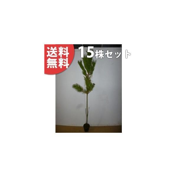 クロマツ(15本セット) 樹高0.8m前後 15cmポット 黒松 くろまつ 松の木 苗木 植木 苗 庭木 生け垣 送料込み