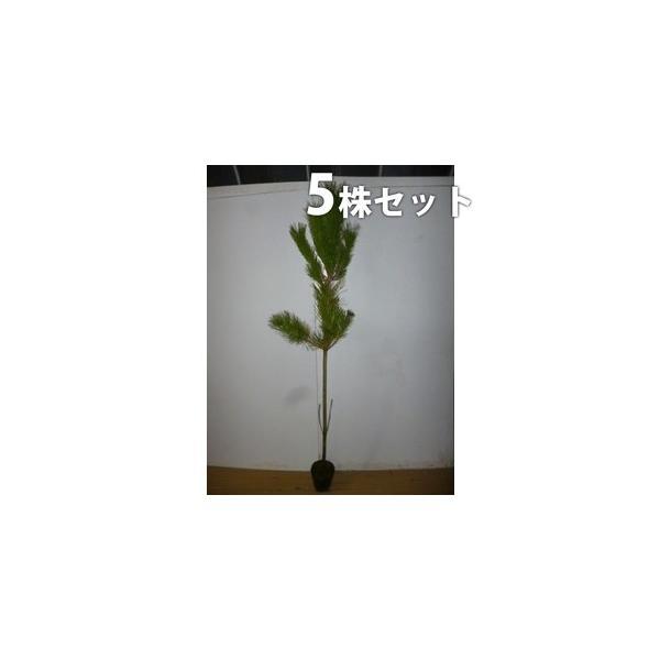 クロマツ(5本セット) 樹高1.0m前後 15cmポット 黒松 くろまつ 松の木 苗木 植木 苗 庭木 生け垣 送料込み