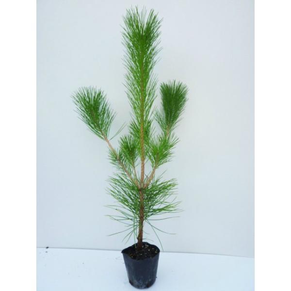 クロマツ 樹高0.5m前後 10.5cmポット 黒松 くろまつ 松の木 苗木 植木 苗 庭木 生け垣