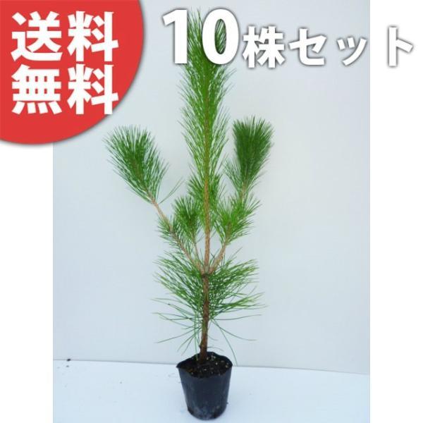 クロマツ(10本セット) 樹高0.8m前後 10.5cmポット 黒松 くろまつ 松の木 苗木 植木 苗 庭木 生け垣 送料込み