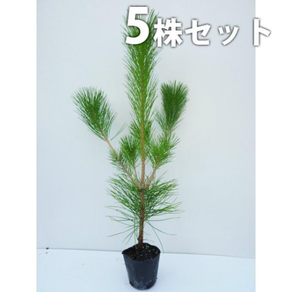 クロマツ(5本セット) 樹高0.8m前後 10.5cmポット 黒松 くろまつ 松の木 苗木 植木 苗 庭木 生け垣 送料込み